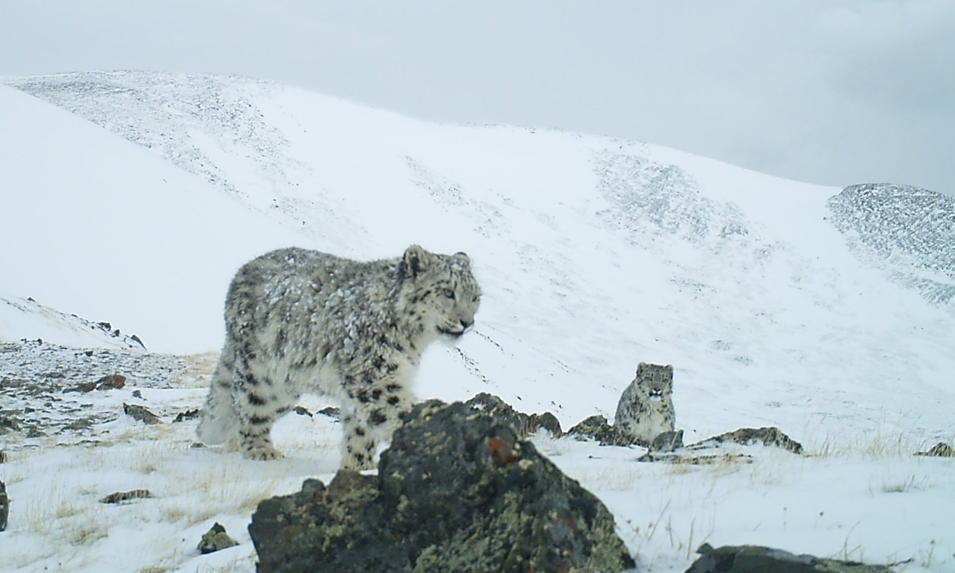 A snow leopard in Russia's Sailyugem national park. Image Credit: Sailyugem National Park/WWF Russia.