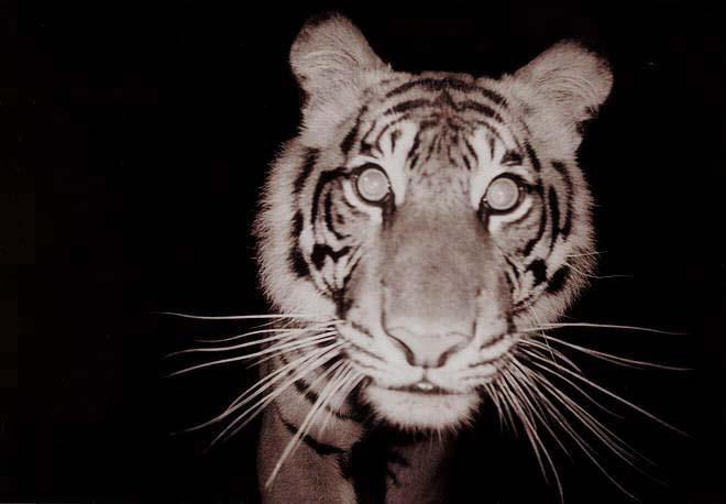 Sumatran tiger. Image Credit: Wikimedia Commons